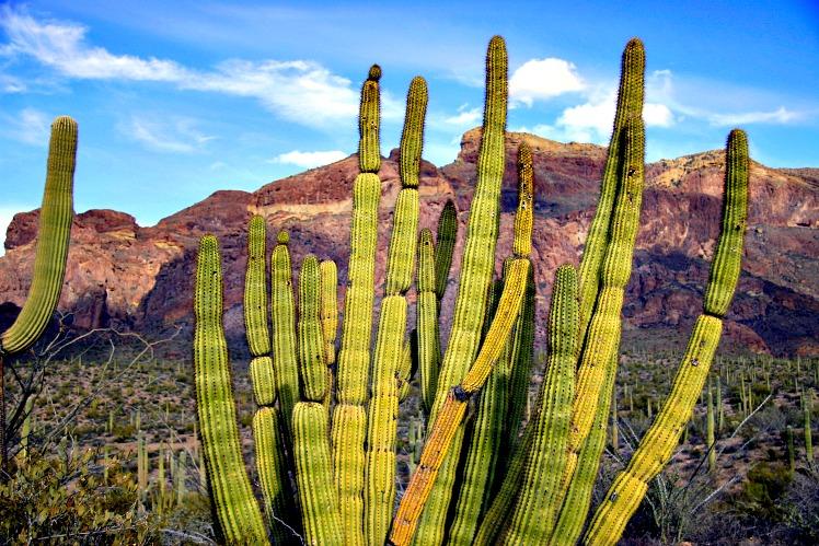 Serenading the Sonoran Desert: Organ Pipe Cactus National Monument