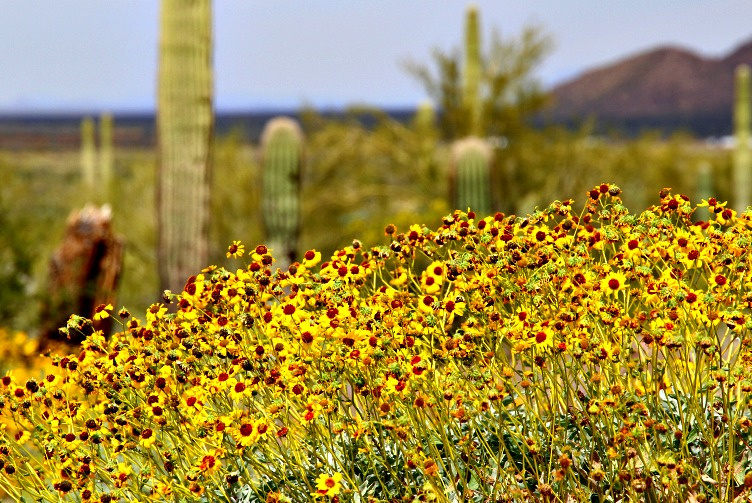 Wildflower Season Has Arrived in Arizona! Where to See the Best Blooms?