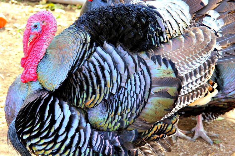 Turkey Talk At Thanksgiving