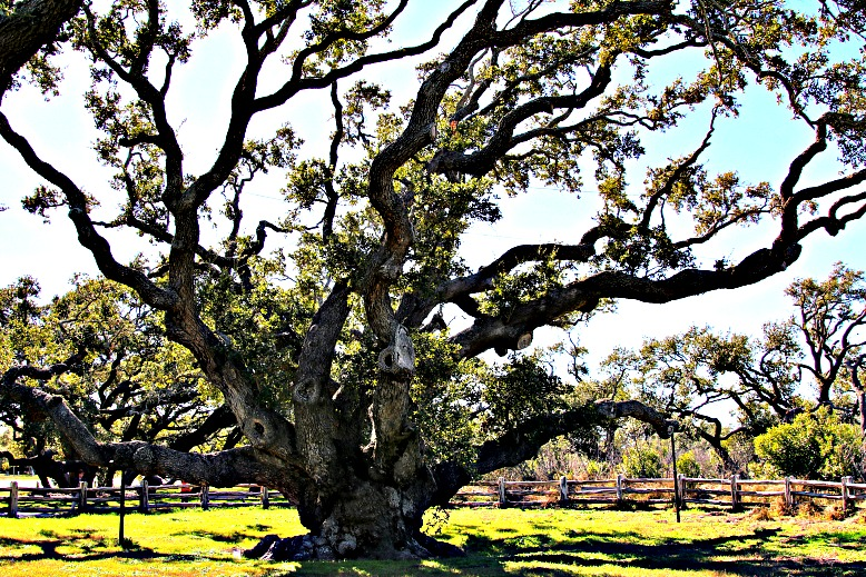 A 1,000-Year-Old Texas Oak Tree Stands Firm